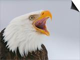 Bald Eagle Screaming  Homer  Alaska  USA