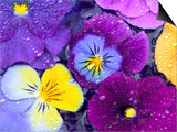 Pansy Flowers Floating in Bird Bath with Dew Drops  Sammamish  Washington  USA