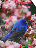 Male Indigo Bunting Among Crabapple Blossoms