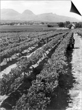 Workers Picking Grapes in Vineyard  Paarl  South Africa  June 1955