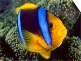 Anemonefish  Great Barrier Reef  Australia