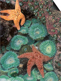 Tidepool of Sea Stars  Green Anemones on the Oregon Coast  USA