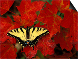 Tiger Swallowtail on Maple Leaves  Michigan  USA