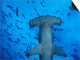 Hammerhead Shark from Below  Galapagos Islands  Ecuador
