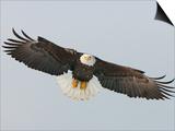 Bald Eagle Flying with Full Wingspread  Homer  Alaska  USA