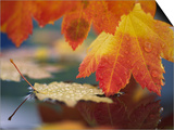 Close-up of Autumn Vine Maple Leaves Reflecting in Pool of Water  Bellingham  Washington  USA