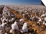 Cotton Plant  Lubbock  Panhandle  Texas