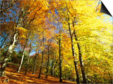 Trees Covered in Yellow Autumn Leaves  Jasmund National Park  Island of Ruegen  Germany