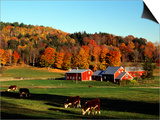 Autumn Colors and Farm Cows  Vermont  USA