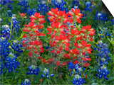 Blue Bonnets and Paint Brush in Texas Hill Country  USA