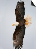 Bald Eagle in Flight with Wingspread  Homer  Alaska  USA