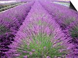 Lavender Field  Sequim  Washington  USA
