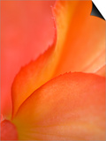 Begonia Petal Close-up