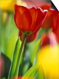 Tulips at Roozengaarde Display Garden  Mount Vernon  Skagit Valley  Washington  USA