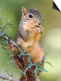 Eastern Fox Squirrel Eating Berries  Uvalde County  Hill Country  Texas  USA
