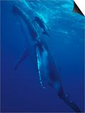 Humpback Whale and Calf  Tonga  South Pacific