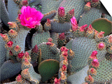 Blooming Beavertail Cactus  Joshua Tree National Park  California  USA