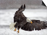 Bald Eagle Flies in Snowstorm  Chilkat Bald Eagle Preserve  Alaska  USA