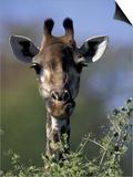 Close-up of Giraffe Feeding  South Africa