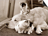 Golden Retriever Dog Adopts Kittens  1964