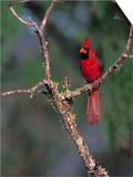 Northern Cardinal  Texas  USA
