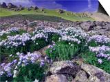 Mountains and Wildflowers  Ouray  San Juan Mountains  Rocky Mountains  Colorado  USA
