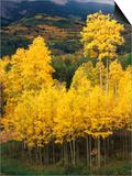 View of Autumn Aspen Grove on Mountain  Telluride  Colorado  USA