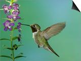 Hummingbird Feeding on Purple Angelonia  Paradise  Chiricahua Mountains  Arizona  USA