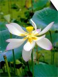 Lily Blossom  Barbados  Caribbean