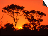 Trees Silhouetted by Dramatic Sunset  South Africa