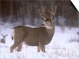 Mule Deer Buck in Winter