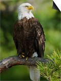 Bald Eagle Perching in a Pine Tree  Flathead Lake  Montana  Usa