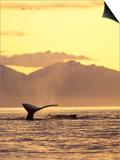 Humpback Whale at Sunset  Inside Passage  Alaska  USA