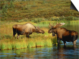 Moose Standing by Wonder Lake  Denali National Park  Alaska  USA