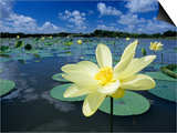 American Lotus  Welder Wildlife Refuge  Rockport  Texas  USA