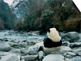 Giant Panda Eating Bamboo by the River  Wolong Panda Reserve  Sichuan  China
