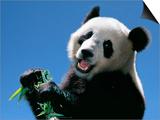 Panda Eating Bamboo  Wolong  Sichuan  China