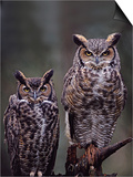 These Great Horned Owls  Washington  USA