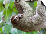 Brown-Throated Sloth and Her Baby Hanging from a Tree Branch in Corcovado National Park  Costa Rica