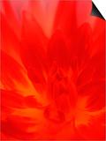 Close-up of Dahlia Flower