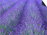 Lavender Field  Sequim  Olympic National Park  Washington  USA