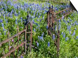 Bluebonnets and Phlox  Hill Country  Texas  USA