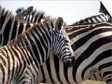 Black and White Stripe Pattern of a Plains Zebra Colt  Kenya
