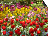 Tulips in St James's Park  London  England  United Kingdom