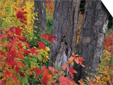 Yellow Birch Tree Trunks and Fall Foliage  Kancamagus Highway  White Mountain National Forest