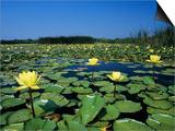 Yellow Waterlily  Welder Wildlife Refuge  Sinton  Texas  USA