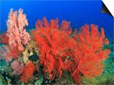 Brilliant Red Sea Fans  Komba Island  Flores Sea  Indonesia