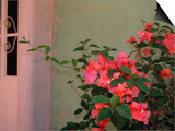 Detail of Bougenvilla in Bloom  Puerto Vallarta  Mexico