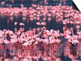 Lesser Flamingos  Lake Nakuru  Kenya