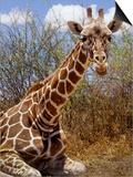 Giraffe Lying Down  Loisaba Wilderness  Laikipia Plateau  Kenya